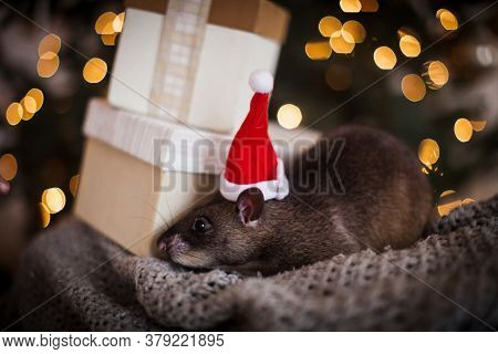 Giant African Pouched Rat In Decorated Room With Christmass Tree.