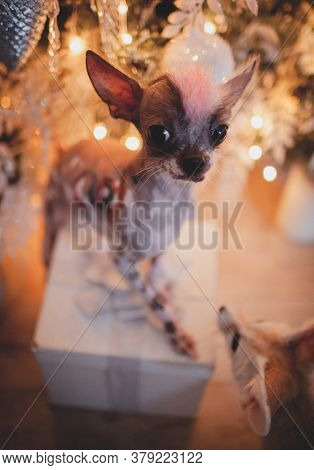 Peruvian Hairless And Chihuahua Mix Dog In Festivaly Decorated Room With Christmass Tree