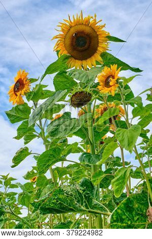 Sunflowers With Bumblebee Against The Background Of The Cloudy Sky