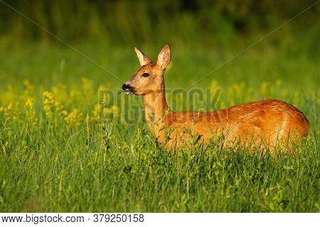 Roe Deer Doe Standing On Meadow In Summer Nature.