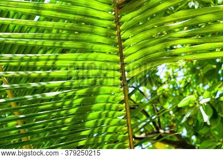 Coconut Palm Leaves Close-up On A Background Of Sea, Sand And Sky. Maldives, Tourism, Family Vacatio