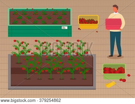 Man Growing Strawberries And Tomatoes In Wooden Boxes. Concept Of Agricultural Occupation. Grower Ho