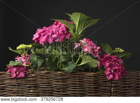 Beautiful Flowers Of Hydrangea. Coral Hydrangea Macrophylla, Hortensia. Dark Background, Copy Space