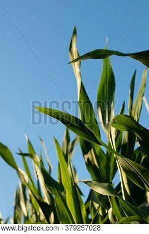 Corn Field Big Leafs Foliage On Blue Sky Background. Country, Daylight, Crop.