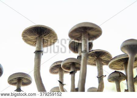 Fungi Hallucinogen. Fresh Psilocybin Shroom. Psilocybin Cubensis Mushroom. Growing Albino A Strain.