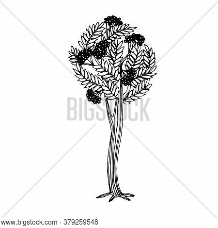 Simple Mountain Ash Tree With Berries, For Logo Or Emblem, Vector Illustration With Black Ink Contou