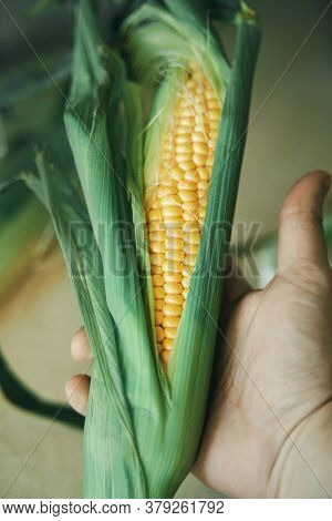 Cob Of Corn In Hand. Holding Fresh And Tasty Corn Cob. Sweetcorn With Green Leaves
