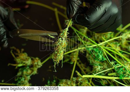 Cannabis Processing For Commercial Use. Prune And Trimming Of Marijuana Plant. Man In Black Gloves U
