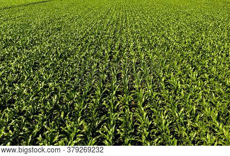 Low Altitude Aerial Photo Of Rows Of Maize Plant In Austria. Agriculture Background