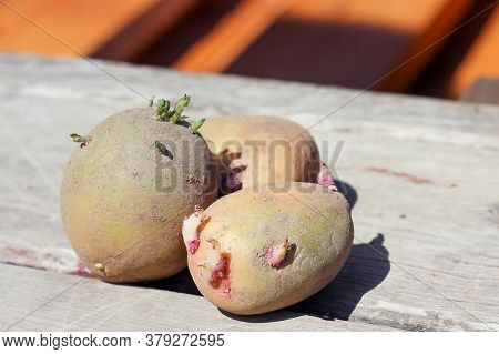 Sprouted Potatoes With Sprouts. Sprouts Appeared On A Potato Tuber. Prepared Potatoes For Planting I