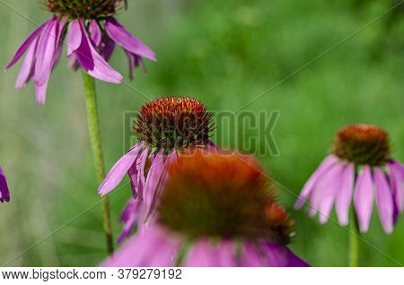 Pink Echinacea Flower Against The Green Garden Close-up
