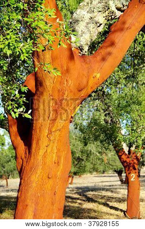 Cork Trees Stripped at south of Portugal