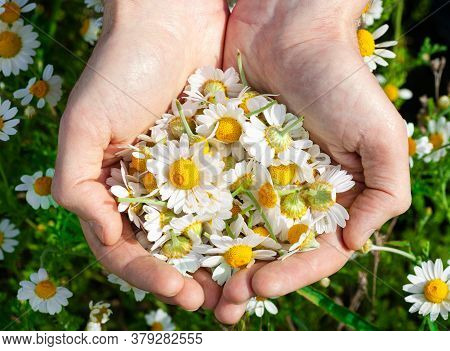 Mans Palms With Fresh Pharmacy Chamomile Flowers On Sunny Summer Day, Closeup. A Full Handful Of Cam