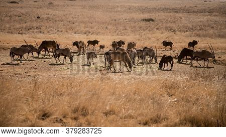 Wild Artiodactyls Gemsboks, Sable Antelopes, Black Wildebeests In Natural Habitat In South Africa. S