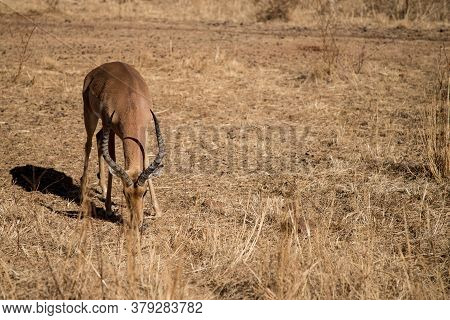 Beautiful Wild Impala Male Eating Grass In A Natural Habitat. Wildlife Safari In South Africa. Autum