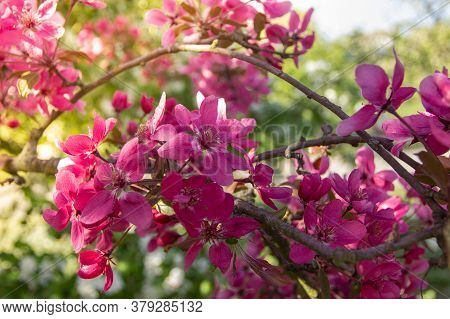 Cherry Tree With Pink Blossoms In Full Bloom.natural Decoration. Pink Blossoms During Springtime. Sw
