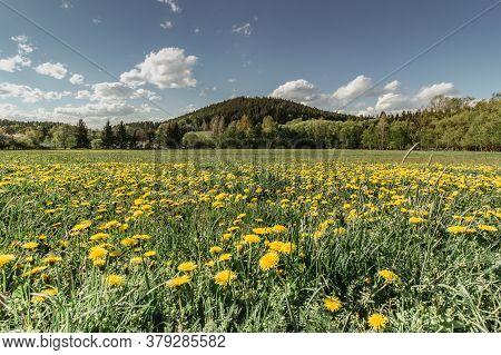 Meadow Full Of Blooming Dandelions. Flowering Yellow Dandelions Closeup. Springtime In Countryside G