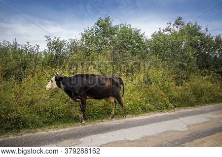 Cows Are On The Village Road.