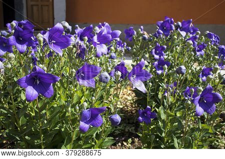 Stem Of Bluebell (campanula Rotundifolia Or Campanula Petiolate, Common Harebell, Blawort, Heath Bel