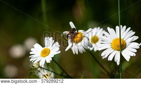 Bee Sits On Medicinal Chamomile Flower Closeup. Beautiful Bouquet Of Pharmacy Daisy On Green Field.