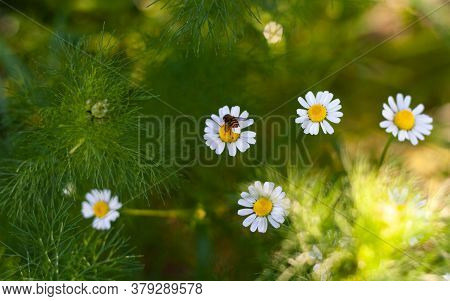 Bee Sits On Medicinal Chamomile Flower Closeup. Beautiful Sunny Bouquet Of Pharmacy Daisy On Green F