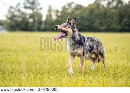 Koolie Australian Working Herding Dog Or German Coolie. Australia Original Working Herding Dog. Stan