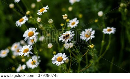 Bee Sits On Medicinal Chamomile Flower, Close-up Photo. Beautiful Bouquet Of Pharmacy Daisy On Green