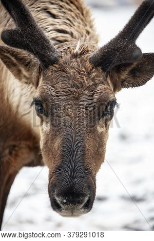 A Reindeer With Wet Fur On Its Muzzle Looks At The Camera. Portrait Of A Male Caribou. Russia, Anima