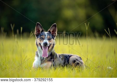 Koolie Australian Working Herding Dog Or German Coolie. Australia Original Working Herding Dog. Layi