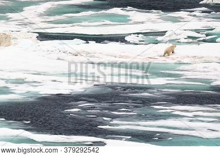 The Polar Bear Runs On The Ice. Wormwood In A Melting Man In The Arctic And A Bear.