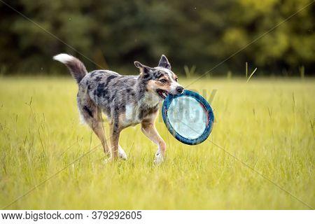 Koolie Australian Working Herding Dog Or German Coolie. Australia Original Working Herding Dog. Runn