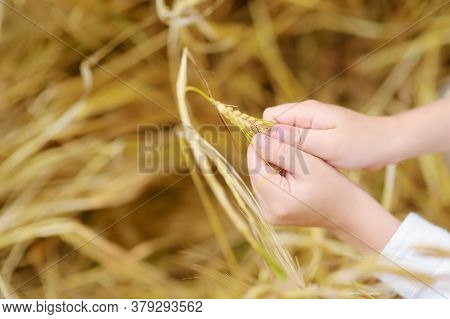 Preschooler Boy Holding Ears Of Wheat. Close-up Of Baby Hands. Kid Exploring Nature. Summer Activity