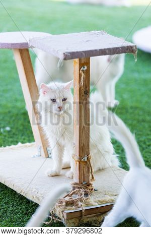 Turkish Van Cat. A Portrait Of A Pet With Scratch Post. White Cat With Blue Eyes Among Fellows. Rare
