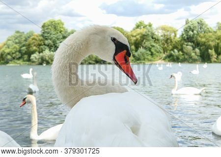 Close-up On A Tuberculed Swan. Waterbird On A Lake In Summer. Animal Looking At The Camera. Selectiv