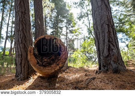 Closeup Of Fallen Hollow Conifer Tree Trunk In The Forest