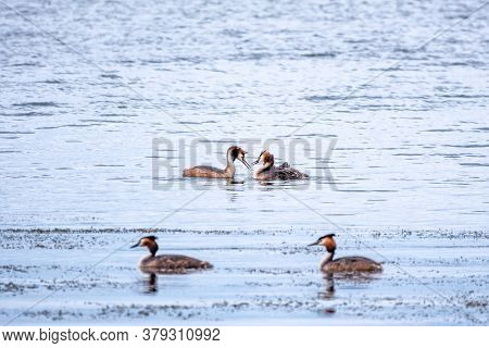 Two Stunning Adult Great Crested Grebe, Podiceps Cristatus, Swimming In The Lake, One Of The Parents