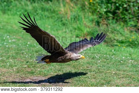 American Bald Eagle In Flight, Eagle Hunting Fish, Eagle Flying Over The Grass