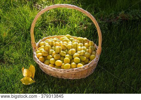 Yellow Plum In Basket. Collected Plum On A Background Of Green Lawn. Bright And Juicy Plum In Garden