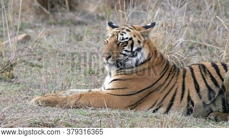 Close Up Of A Young Tiger Cub Laying Down At Tadoba Tiger Reserve In India