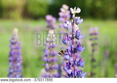 Bumblebee Collecting Nectar On A Purple Lupine. Blooming Lupins In The Summer. Landscape With Wildfl