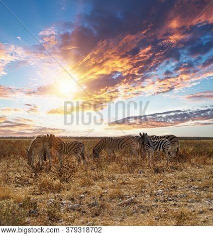 Tanzania great dry gras savannah plains group of zebras grazing into sunset