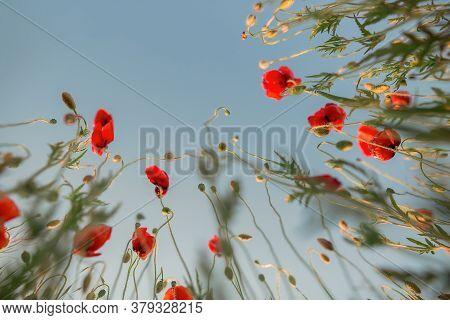 Poppy Field, Poppy Stalks With Flowers. Sky Background.