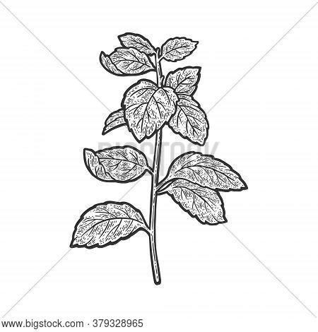 Mint Mentha Plant Sketch Engraving Vector Illustration. T-shirt Apparel Print Design. Scratch Board
