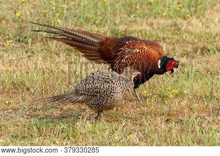 Male Pheasant Courting A Female Pheasant And Displaying A Fan Tail Of Feathers While Bowing. The Fem