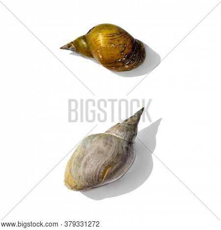 Two Empty Dry Pond Snail Shells Isolated On White Background. Hard Shells Of Freshwater Gastropod Mo