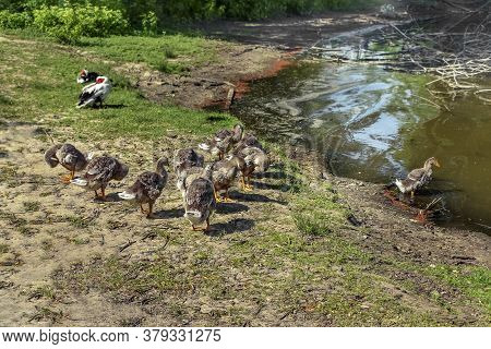 A Flock Of Young Domesticated Goslings With Gray Plumage Resting On The Shore Of A Pond. Waterfowl B