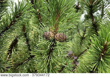 Fir Branch With Cones In Forest On Blurred Background. Medicinal Green Plant With Rich Source Of Vit