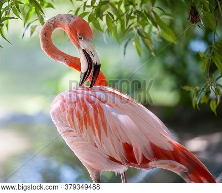American Flamingo (phoenicopterus Ruber) Or Caribbean Flamingo. Big Bird Is Relaxing Enjoying The Su