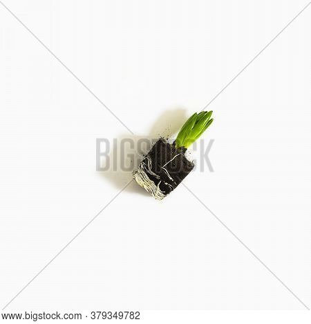 Small Hyacinth Plant With Green Leaves Without Pot On Empty White Background. Square, Top View With