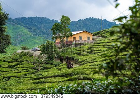 Tea Plantations Cameron Valley. Green Hills In The Highlands Of Malaysia. Tea Production. Green Bush